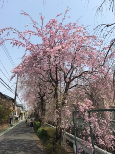 190408 しだれ桜