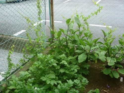 ジャガイモ、ナス、向後から育った1年生の自然薯の様子