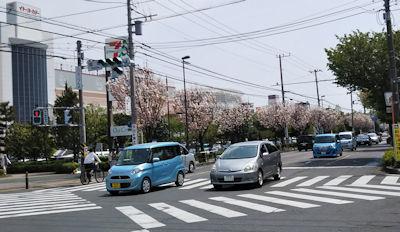 4/19 近くの街路樹の八重桜