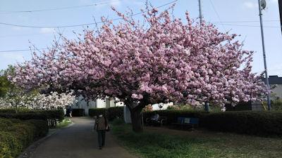 4/21 桜の散歩道