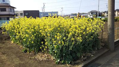 4/21 桜の散歩道から外れた畑の菜の花?