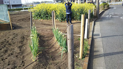4/21 桜の散歩道から外れた畑の菜の花とネギ坊主