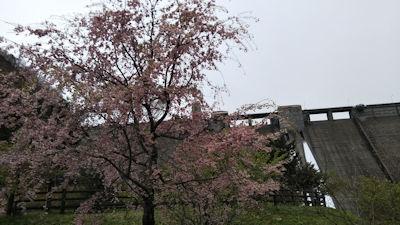 5/1 四万ダム 公園の桜