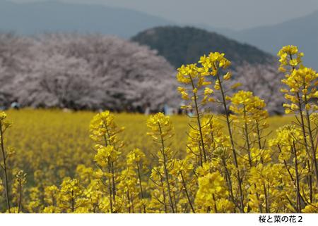 502_桜と菜の花2_20190507