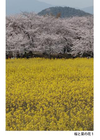 501_桜と菜の花1_20190507