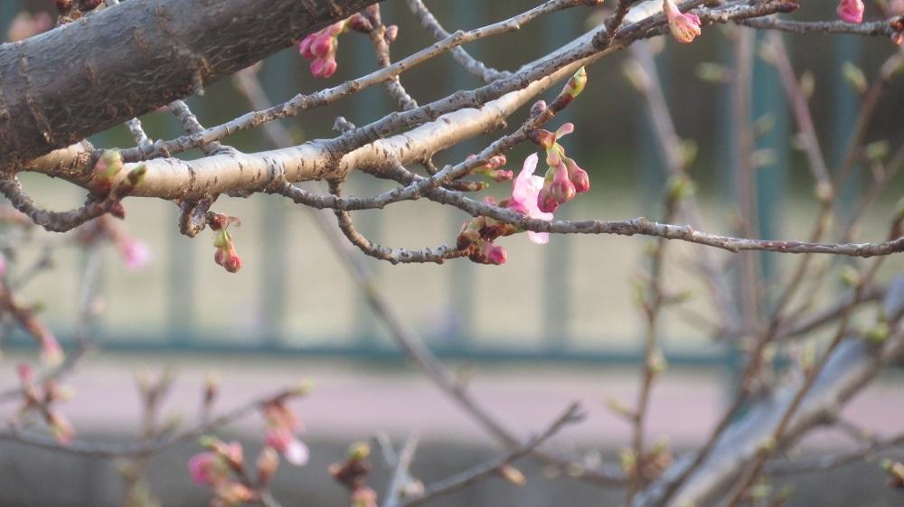 3河津桜IMG_5773
