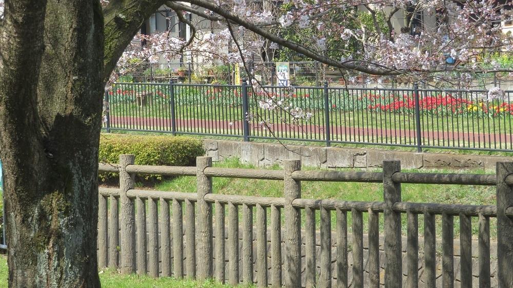 桜とチューリップIMG_5930