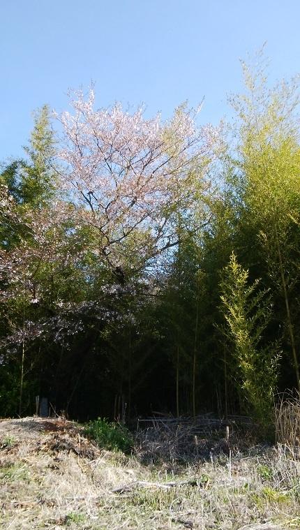 6畑の桜IMG_20190428_072839