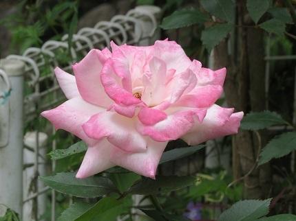1薔薇IMG_3890