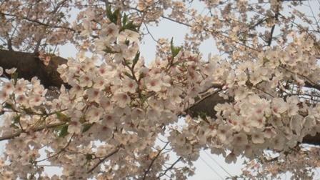 20190407 桜1