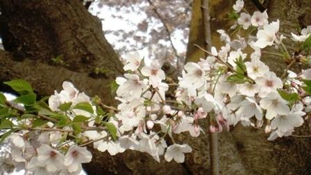 20190407 桜2