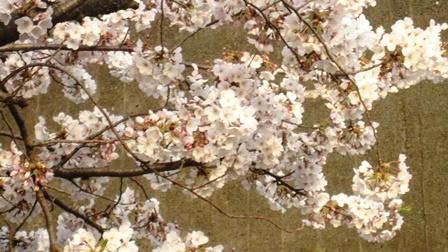 20190407 桜3