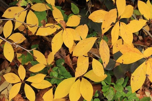 クロモジ黄葉2