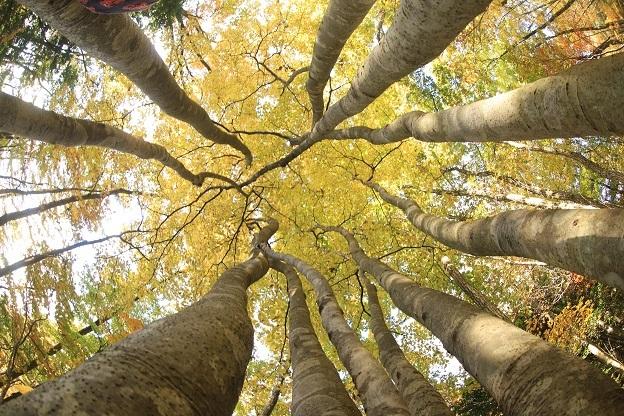 見上げる木立2