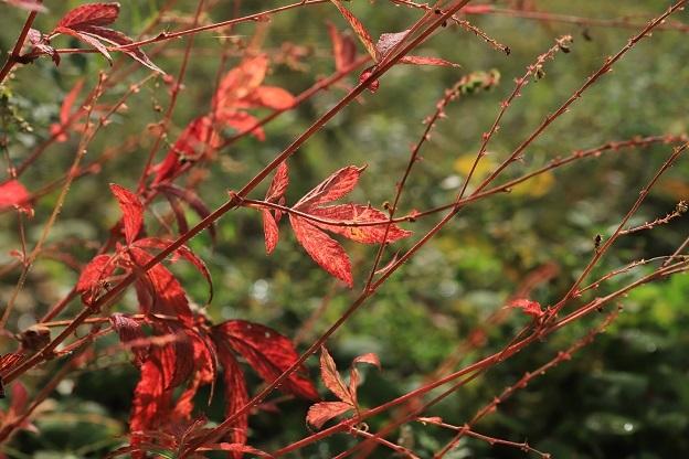 キンミズヒキ紅葉1