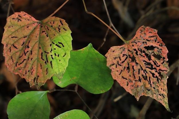 サンカクヅル紅葉