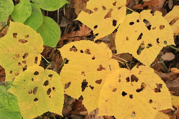 ウリハダカエデ黄葉