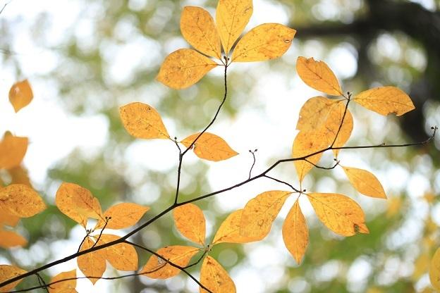 クロモジ黄葉