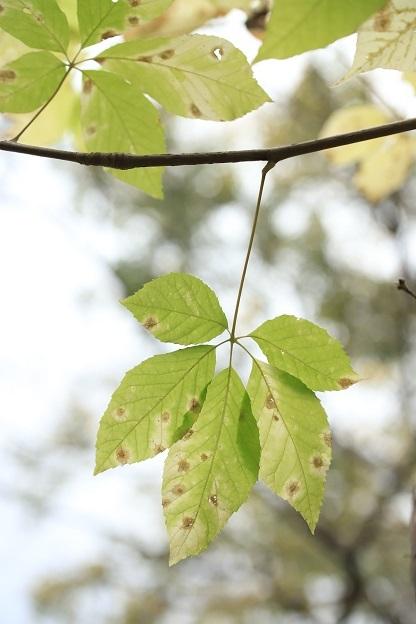 コシアブラ黄葉