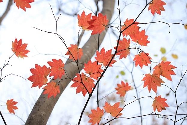 ハウチワカエデ紅葉