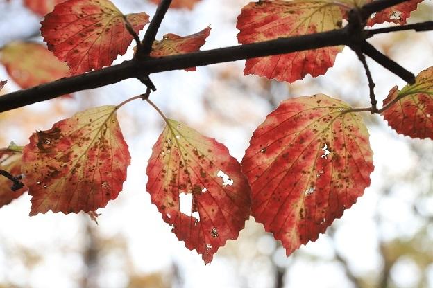 ガマズミ紅葉