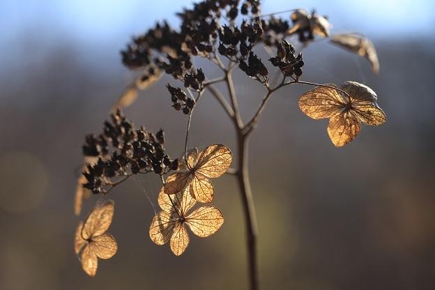 エゾアジサイ枯れ花