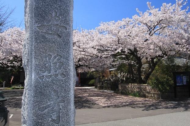 安照寺桜1