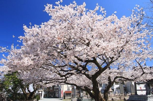 安照寺桜2