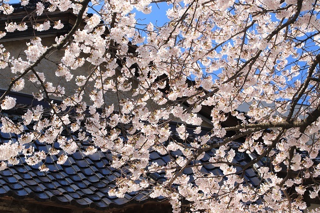 安照寺桜3