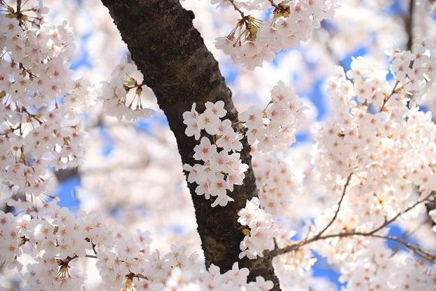 安照寺桜4