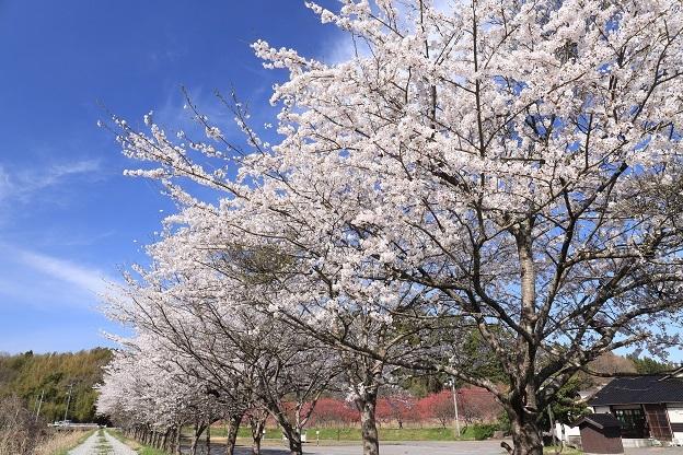 潟上温泉の桜1