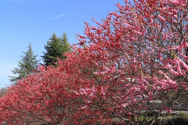 潟上温泉の桜2