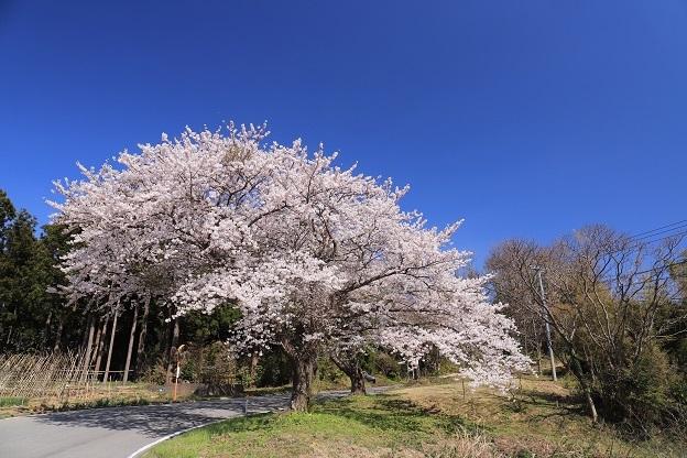 小木の桜1