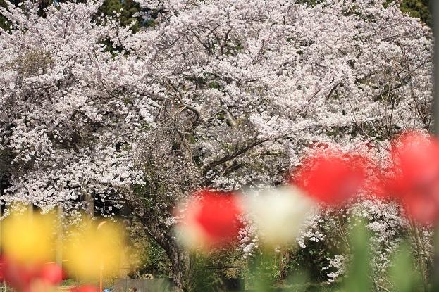 小木の桜2