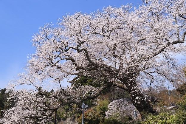 法乗坊の種蒔き桜2