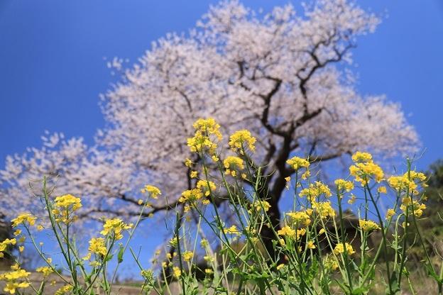 法乗坊の種蒔き桜3