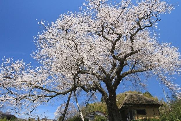 法乗坊の種蒔き桜1