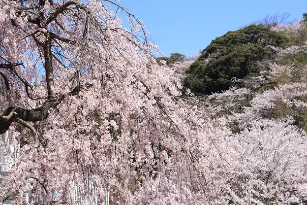 真野公園桜