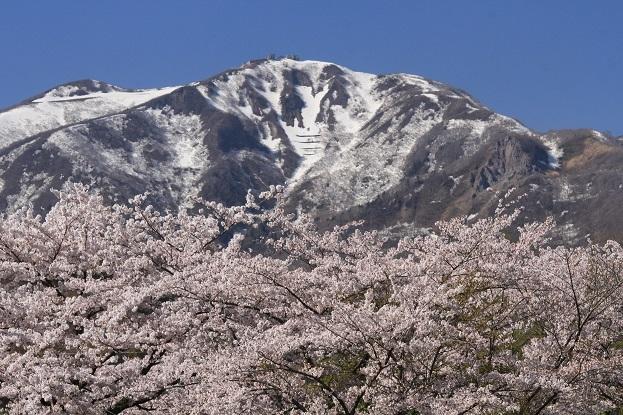 桜と金北山