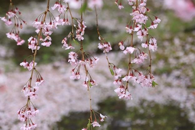 妙宣寺の枝垂桜2