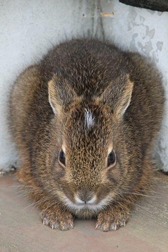 サドノウサギ1