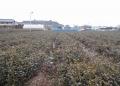 茶畑(畝に雪が積もる程度)