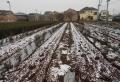 苗木の畑には積雪