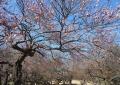 航空公園の梅園・ピンクの梅