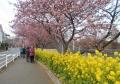 桜と菜の花の道
