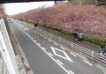 上から見た河津桜の道