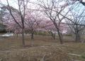 河津桜の説明がある広場