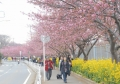 桜と菜の花が続く