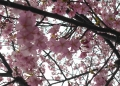 河津桜のクローズアップ(七分咲き?)