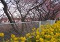 菜の花と電車と桜①